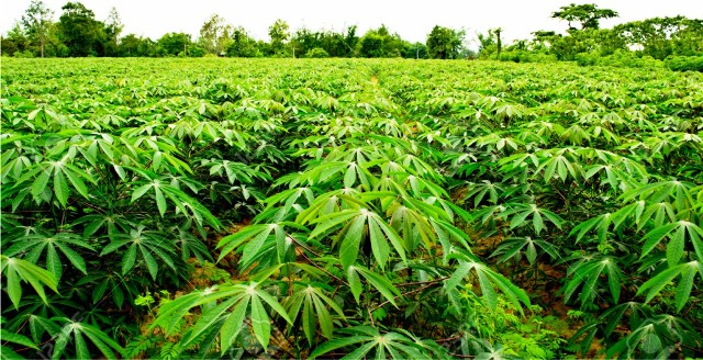 Fadama Lll Ondo Earmarks Land For Cassava Farming